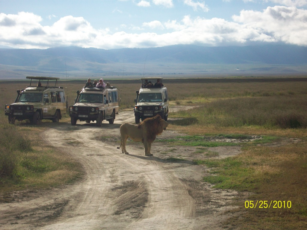 Lion at Ngorongoro Crater