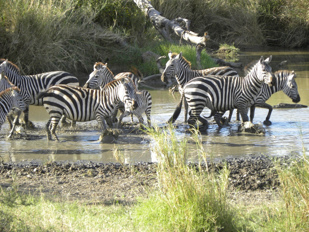 Zebras in Pond