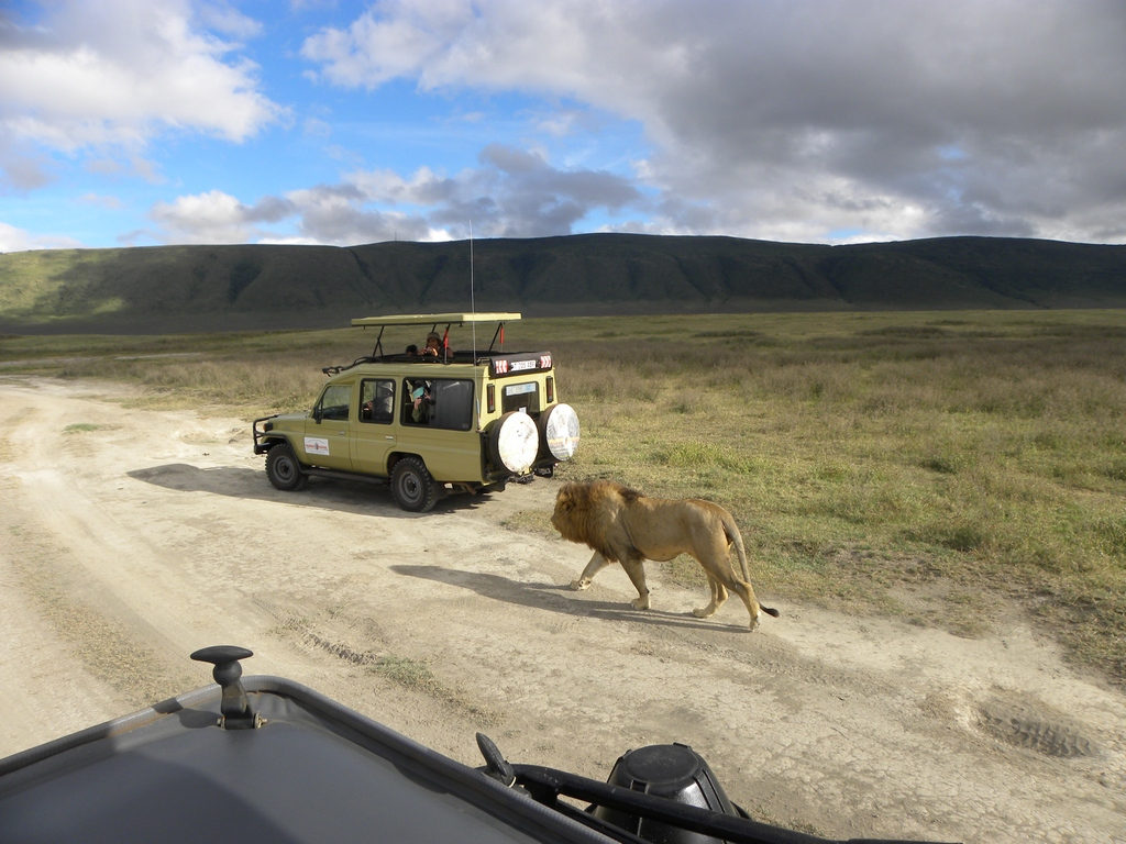 Lion nearing our other vehicle